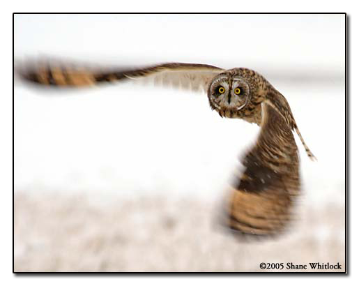 Owl in Flight ©2006 Shane Whitlock Photography